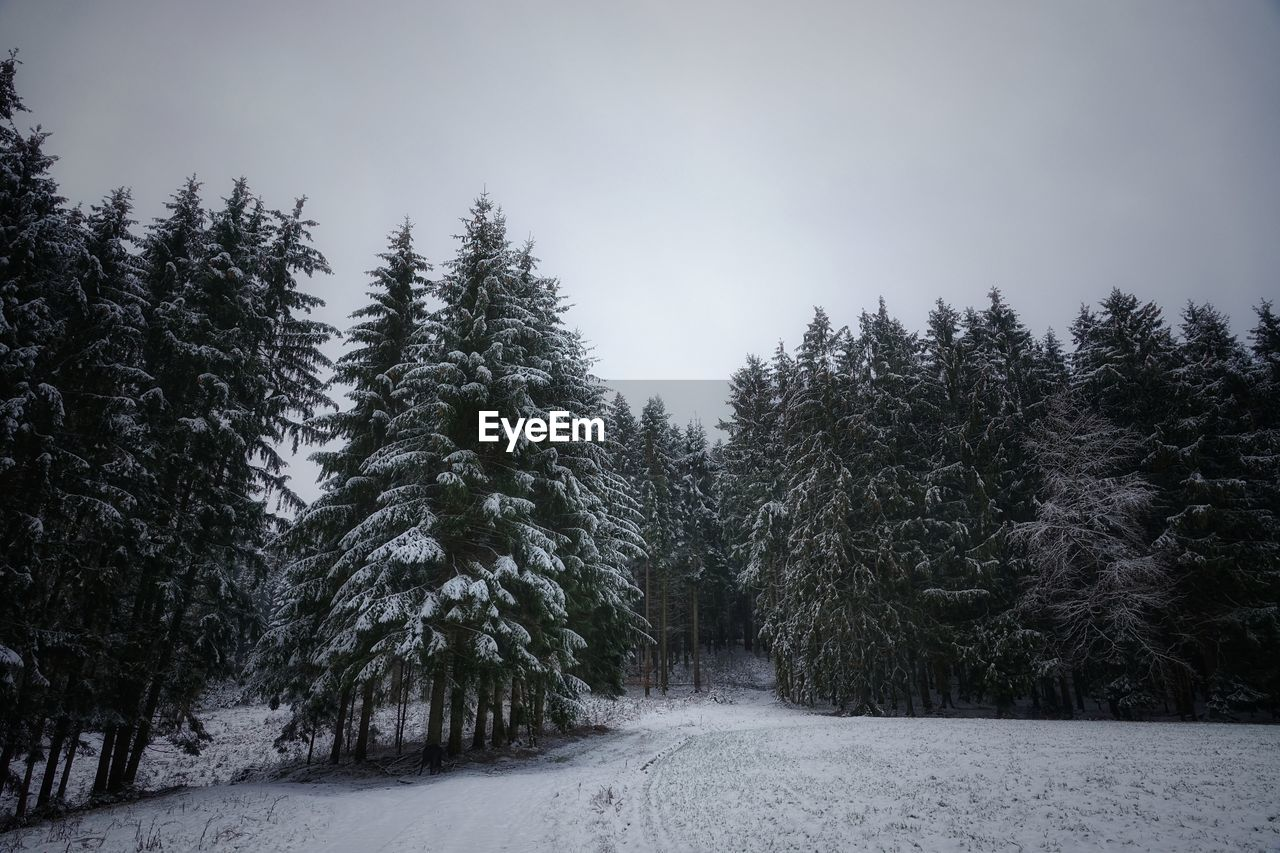 tree, plant, snow, winter, cold temperature, sky, beauty in nature, tranquility, no people, tranquil scene, nature, growth, the way forward, land, direction, forest, scenics - nature, day, covering, outdoors, pine tree, woodland, coniferous tree, treelined, snowing