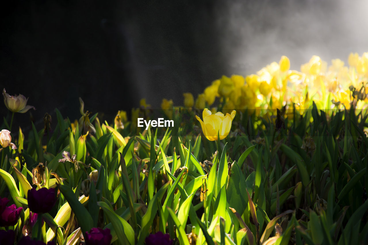 flower, flowering plant, plant, yellow, beauty in nature, freshness, fragility, growth, vulnerability, petal, close-up, field, land, flower head, nature, no people, inflorescence, green color, day, outdoors, springtime, flowerbed