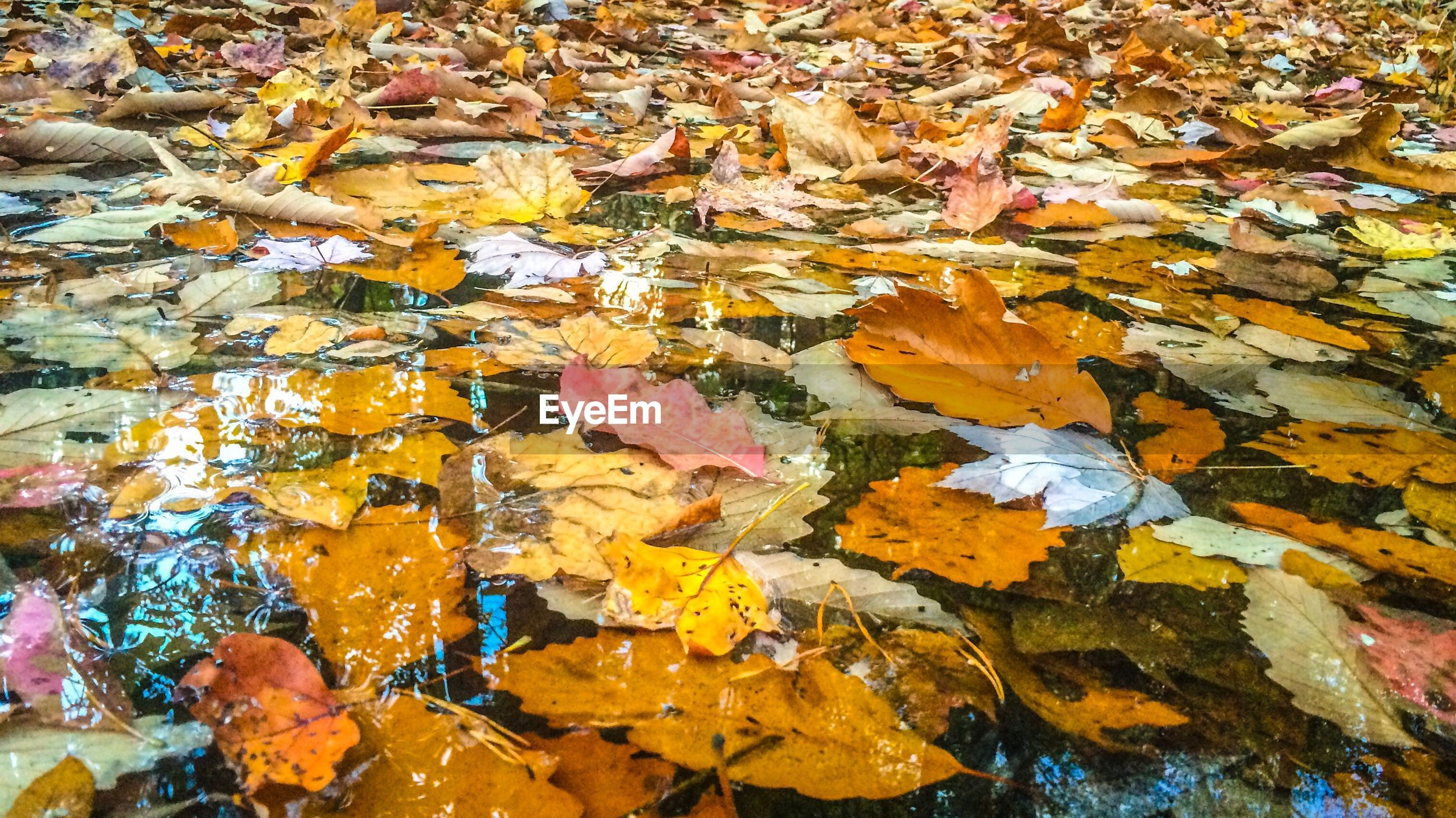 autumn, leaf, change, nature, backgrounds, full frame, close-up, no people, high angle view, fragility, day, outdoors, maple leaf, yellow, leaves, beauty in nature, tree, water, maple