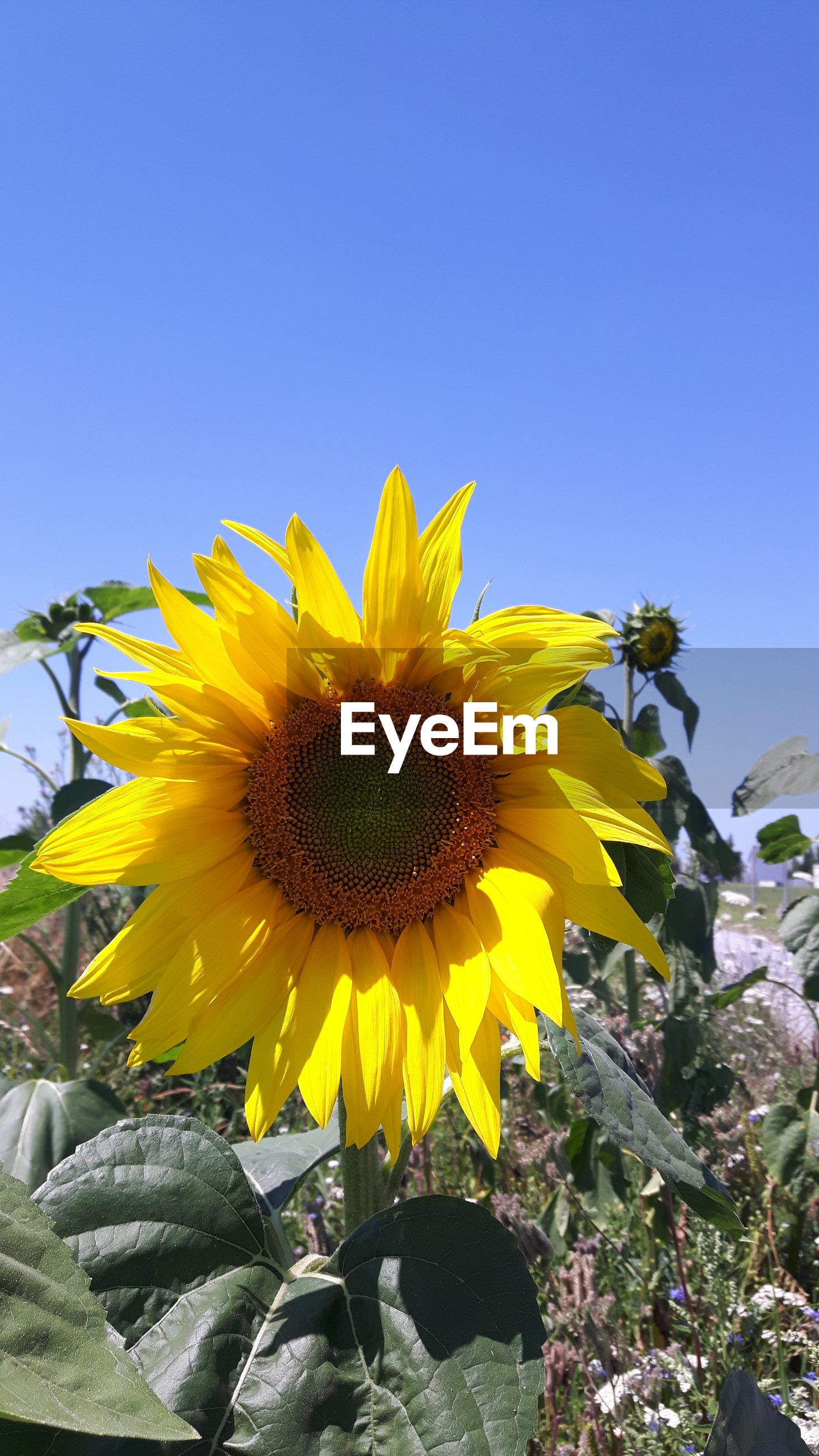 Sunflower blooming on field against clear blue sky