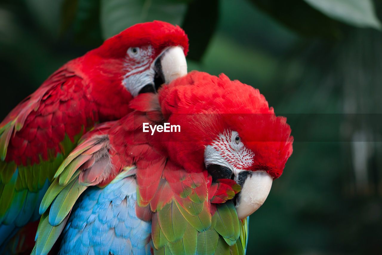 CLOSE-UP OF PARROT IN A RED