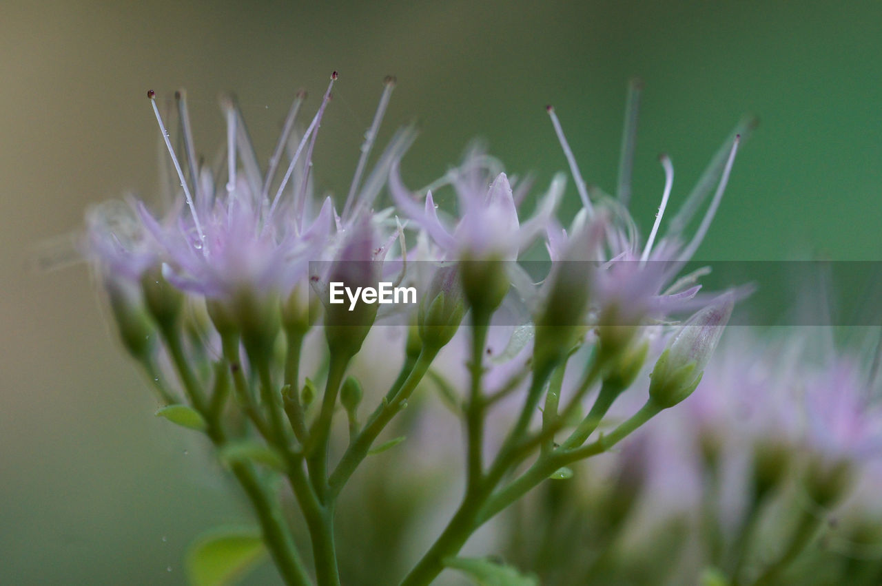 flower, flowering plant, plant, vulnerability, beauty in nature, close-up, fragility, growth, freshness, selective focus, nature, purple, petal, day, no people, flower head, inflorescence, green color, outdoors, focus on foreground