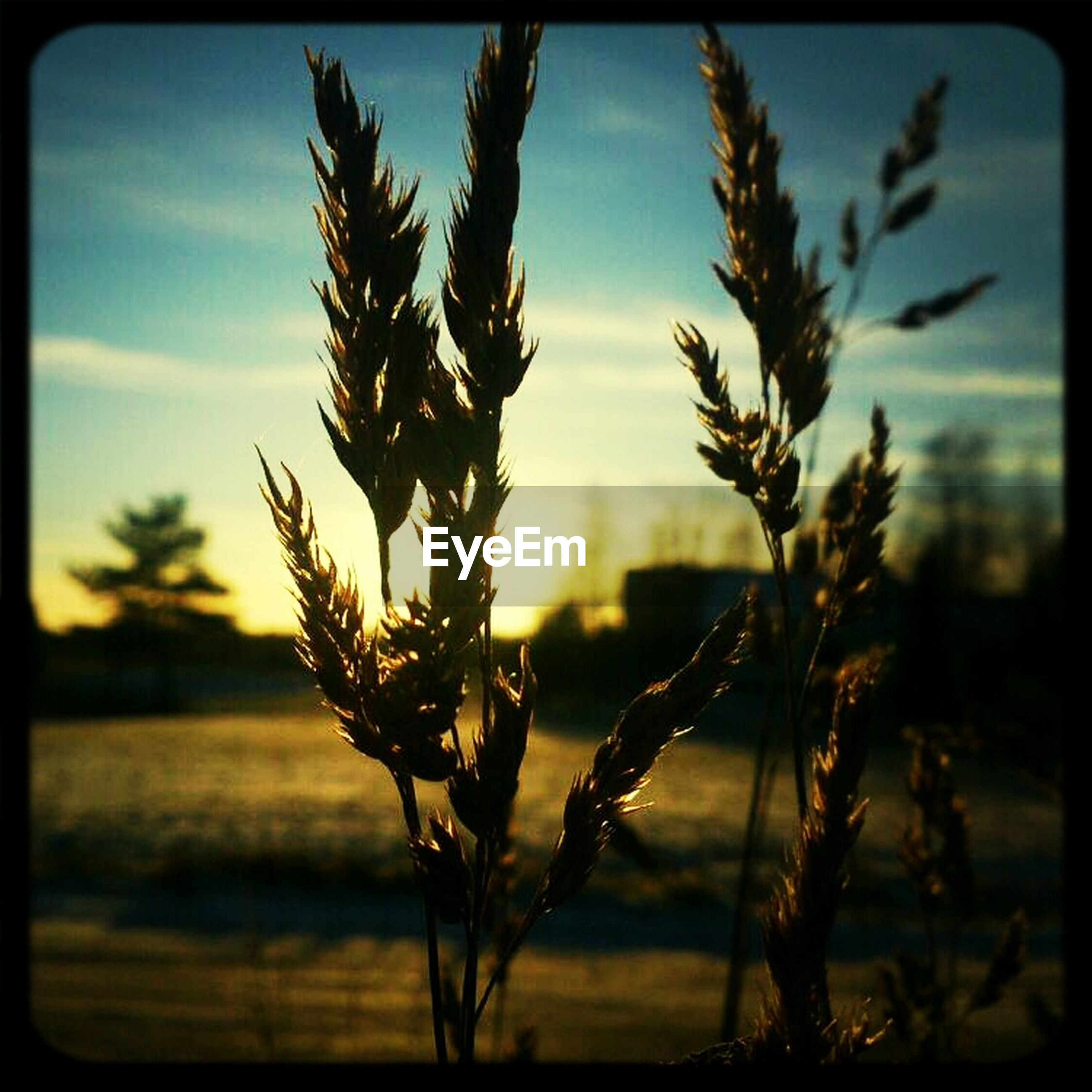 transfer print, auto post production filter, growth, sky, focus on foreground, nature, plant, tranquility, close-up, sunset, branch, beauty in nature, field, stem, tranquil scene, dry, scenics, selective focus, dead plant, outdoors