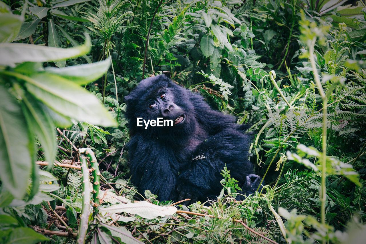 Portrait of gorilla in jungle