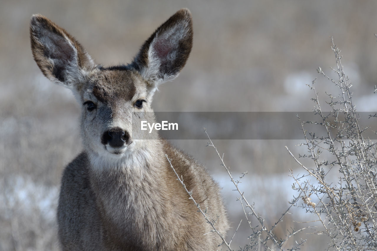 animal, animal themes, one animal, mammal, animals in the wild, vertebrate, animal wildlife, focus on foreground, deer, no people, portrait, nature, snow, looking at camera, field, day, land, close-up, cold temperature, animal head, herbivorous, fawn