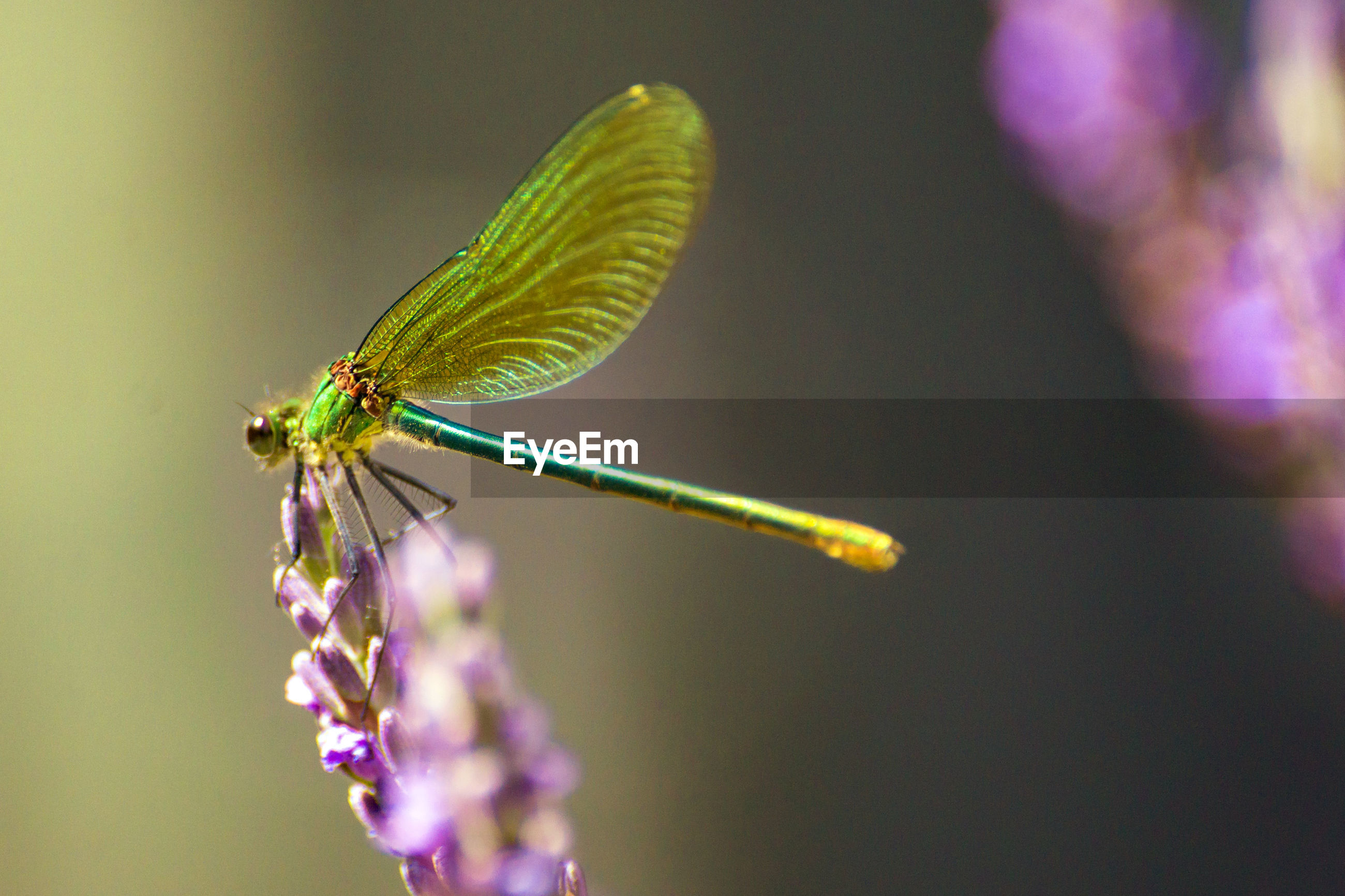 Banded beauty dragonfly on lavender