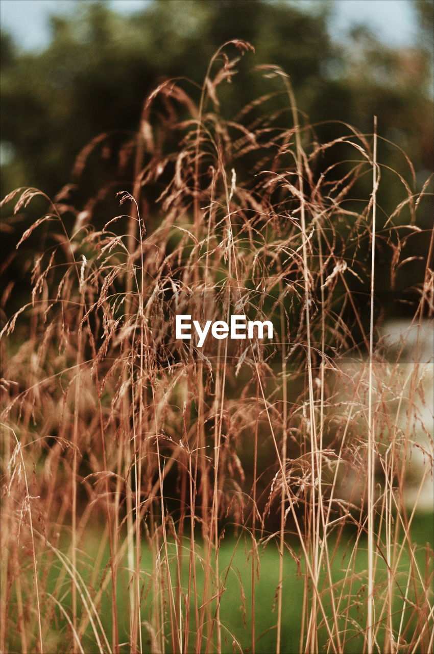 plant, growth, nature, day, no people, focus on foreground, close-up, selective focus, land, outdoors, field, tranquility, beauty in nature, brown, dry, sunlight, tree, agriculture, crop, grass