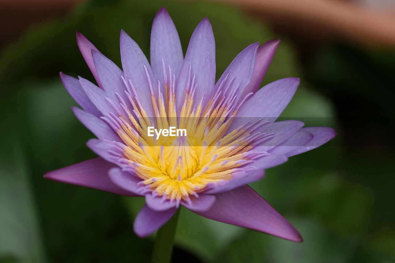 flowering plant, flower, fragility, vulnerability, petal, freshness, flower head, beauty in nature, plant, inflorescence, close-up, growth, focus on foreground, nature, no people, purple, water lily, day, pollen, springtime
