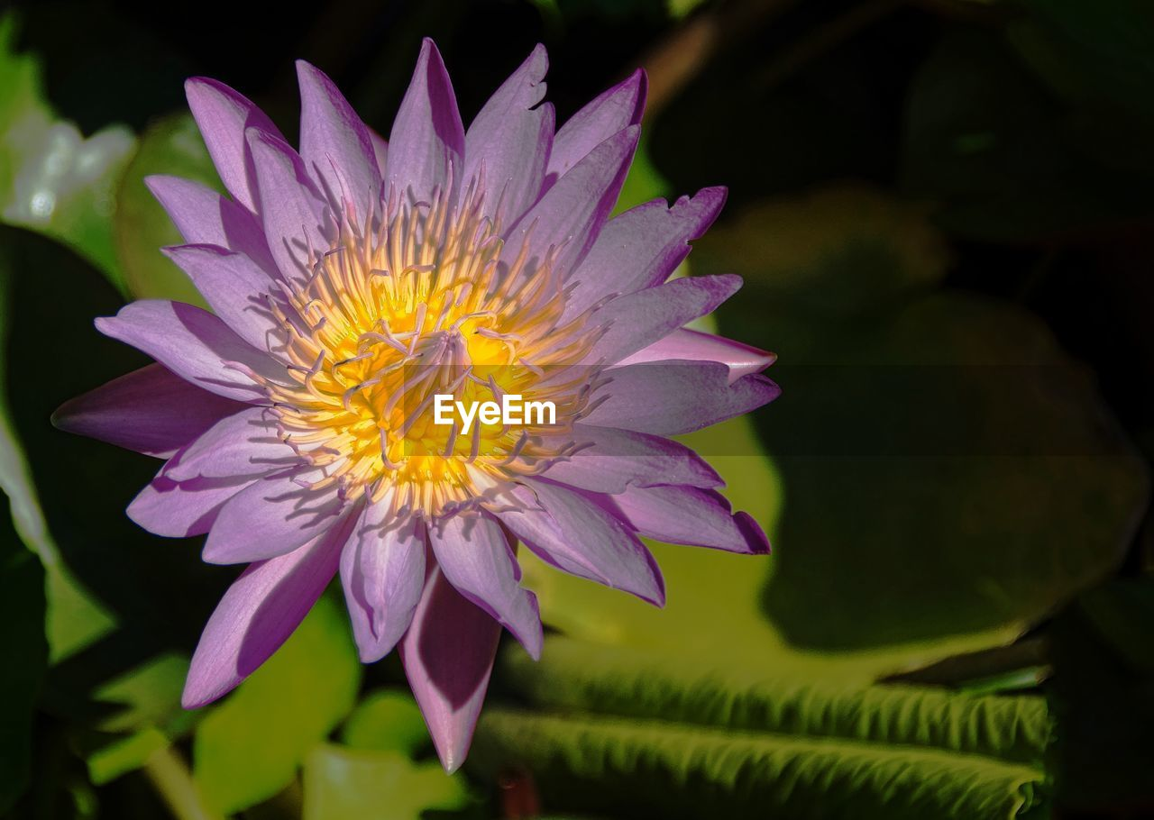flower, flowering plant, vulnerability, plant, petal, fragility, freshness, inflorescence, beauty in nature, growth, close-up, flower head, nature, leaf, pollen, purple, plant part, no people, yellow, softness