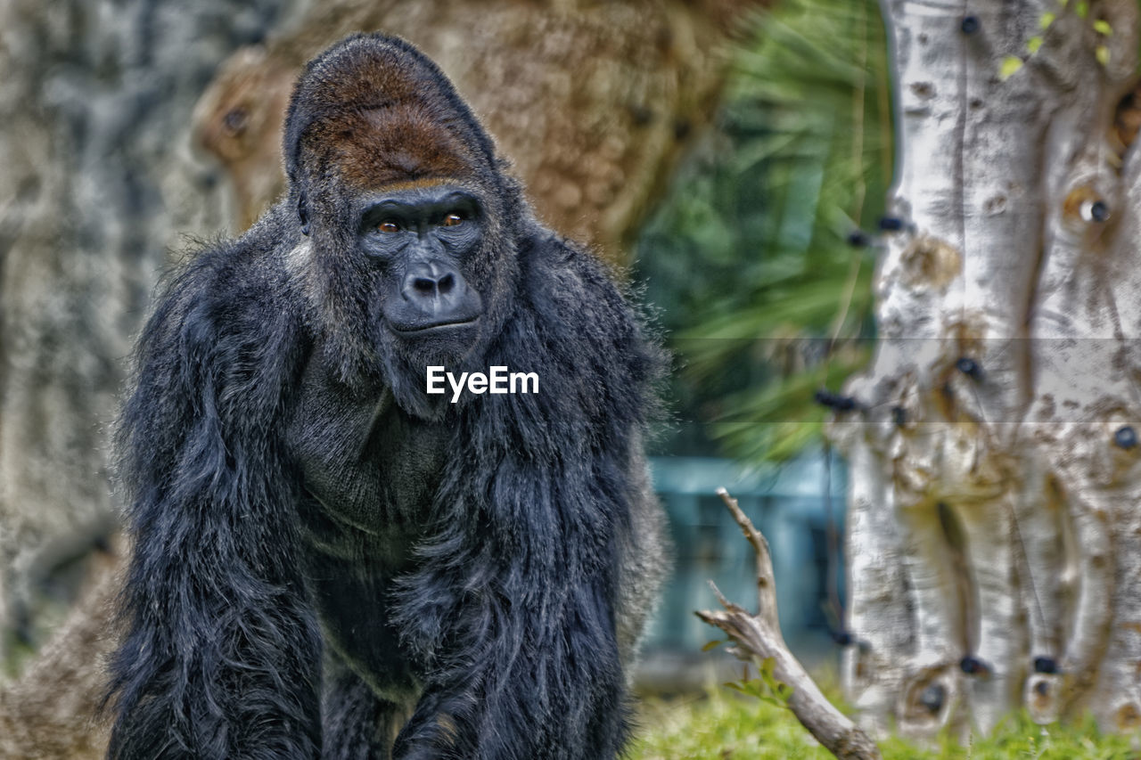 animal wildlife, mammal, primate, animals in the wild, one animal, vertebrate, focus on foreground, ape, day, tree, gorilla, no people, portrait, nature, looking, outdoors, zoo