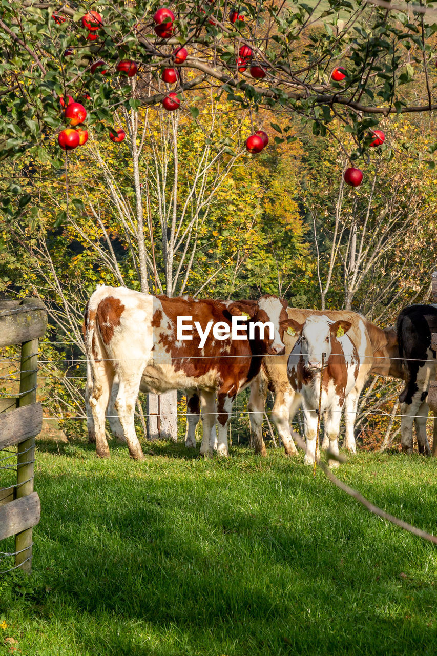 mammal, plant, domestic animals, grass, animal, animal themes, domestic, group of animals, livestock, pets, vertebrate, field, land, cow, nature, day, cattle, standing, agriculture, tree, no people, outdoors, herbivorous, animal family