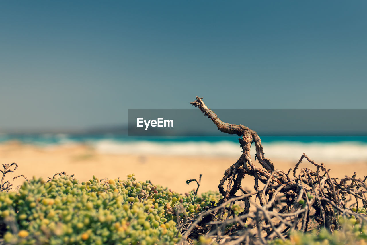 sky, plant, sea, tranquility, nature, beauty in nature, copy space, scenics - nature, beach, day, growth, water, land, focus on foreground, no people, selective focus, clear sky, sunlight, horizon, tranquil scene, horizon over water, outdoors, dead plant, driftwood