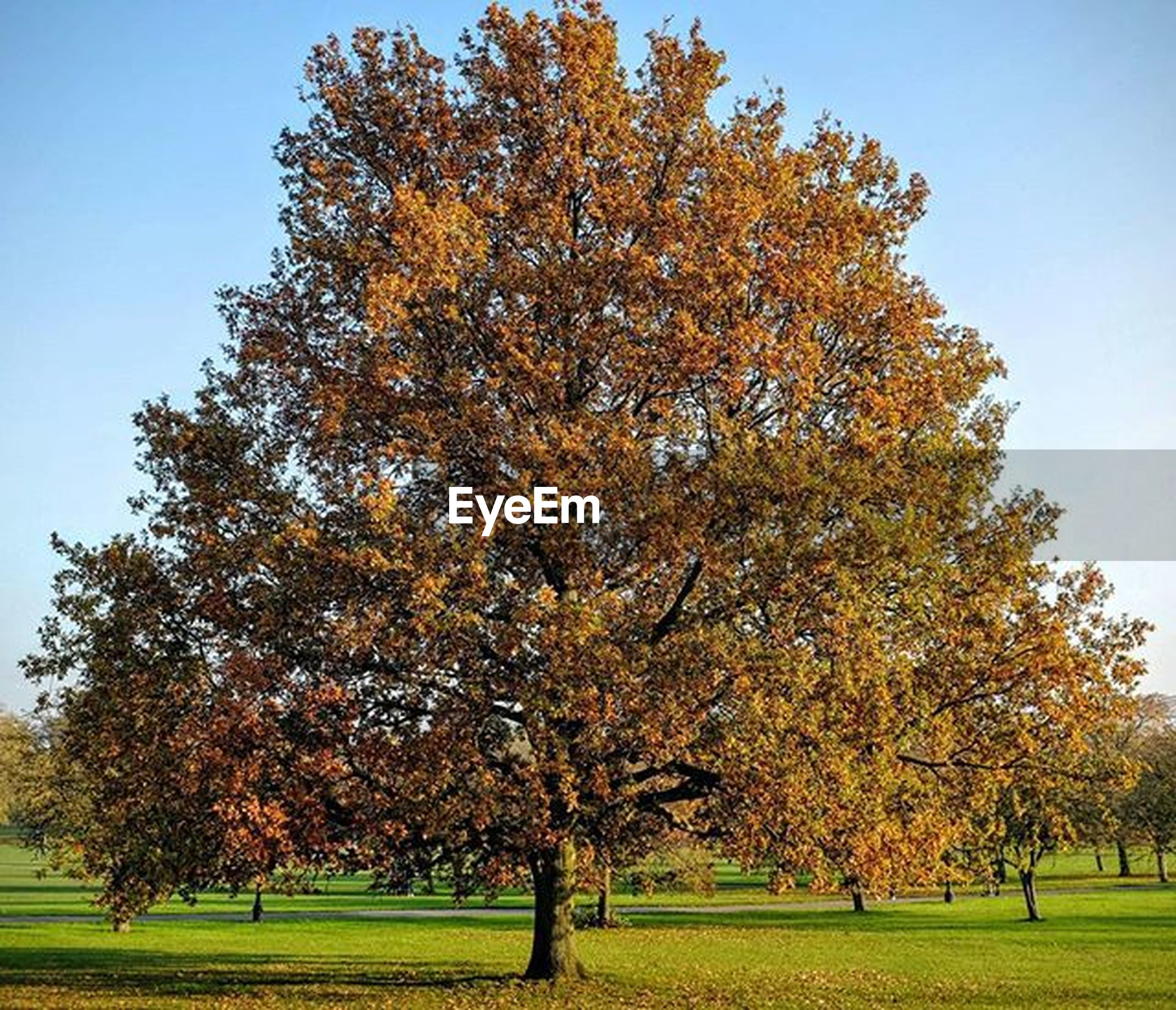 tree, autumn, change, season, grass, growth, beauty in nature, tranquility, branch, nature, field, tranquil scene, park - man made space, clear sky, sky, scenics, green color, orange color, landscape, day