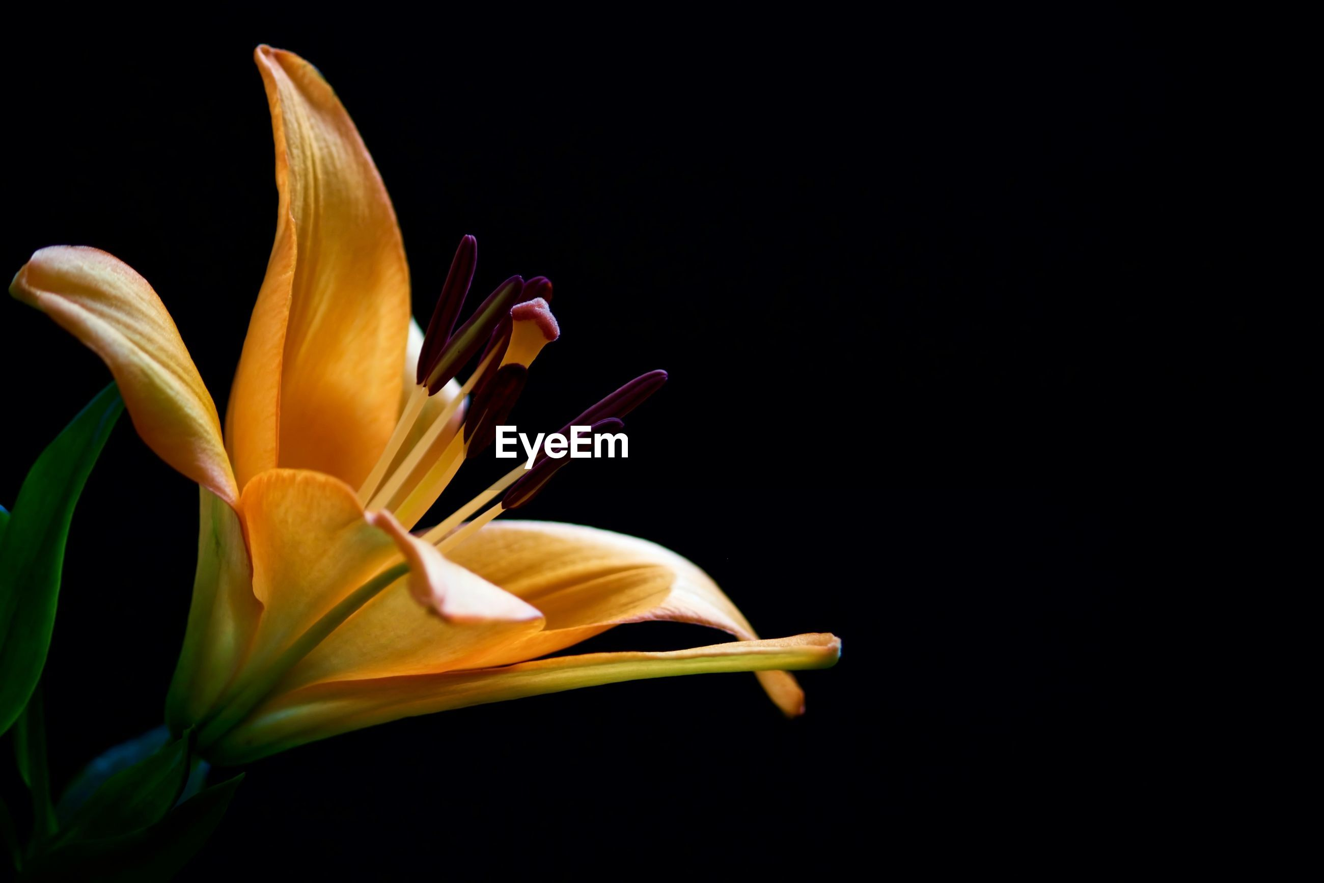 Close-up of lily against black background