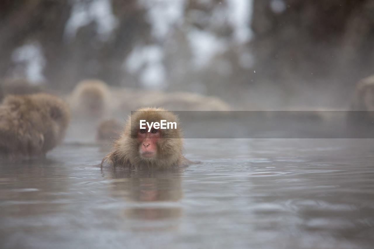 Monkey swimming in lake during winter