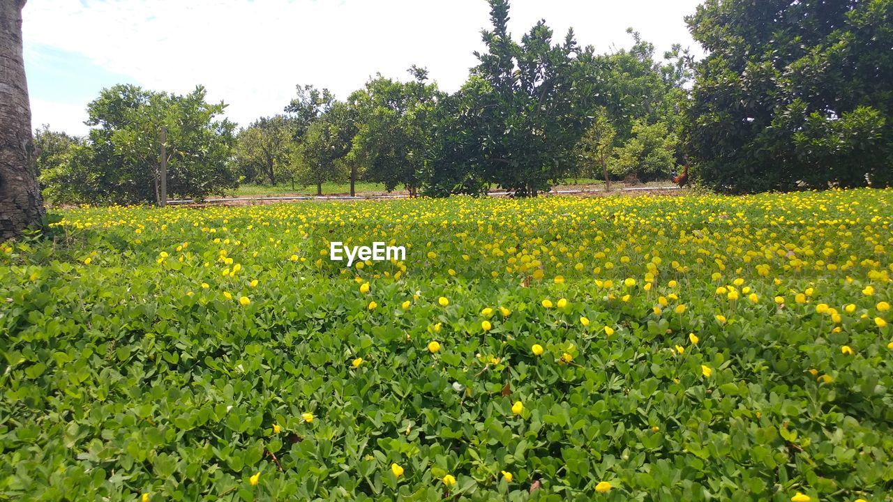 growth, yellow, nature, field, agriculture, tree, beauty in nature, flower, tranquility, day, rural scene, crop, green color, scenics, plant, tranquil scene, oilseed rape, no people, outdoors, landscape, freshness, mustard plant, sky