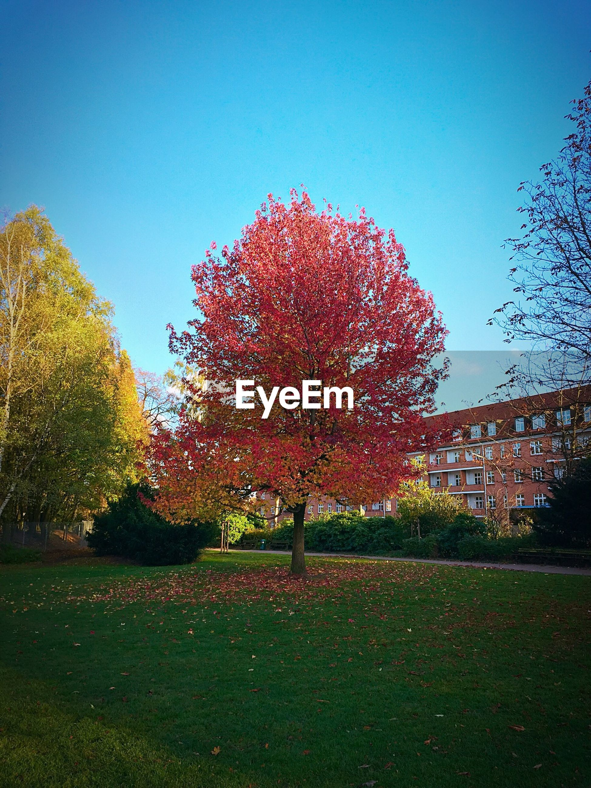 Autumn tree on grassy field by building against clear blue sky