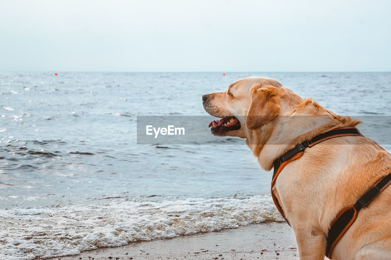 A happy dog sits and smiles against the background of the waves of the sea.