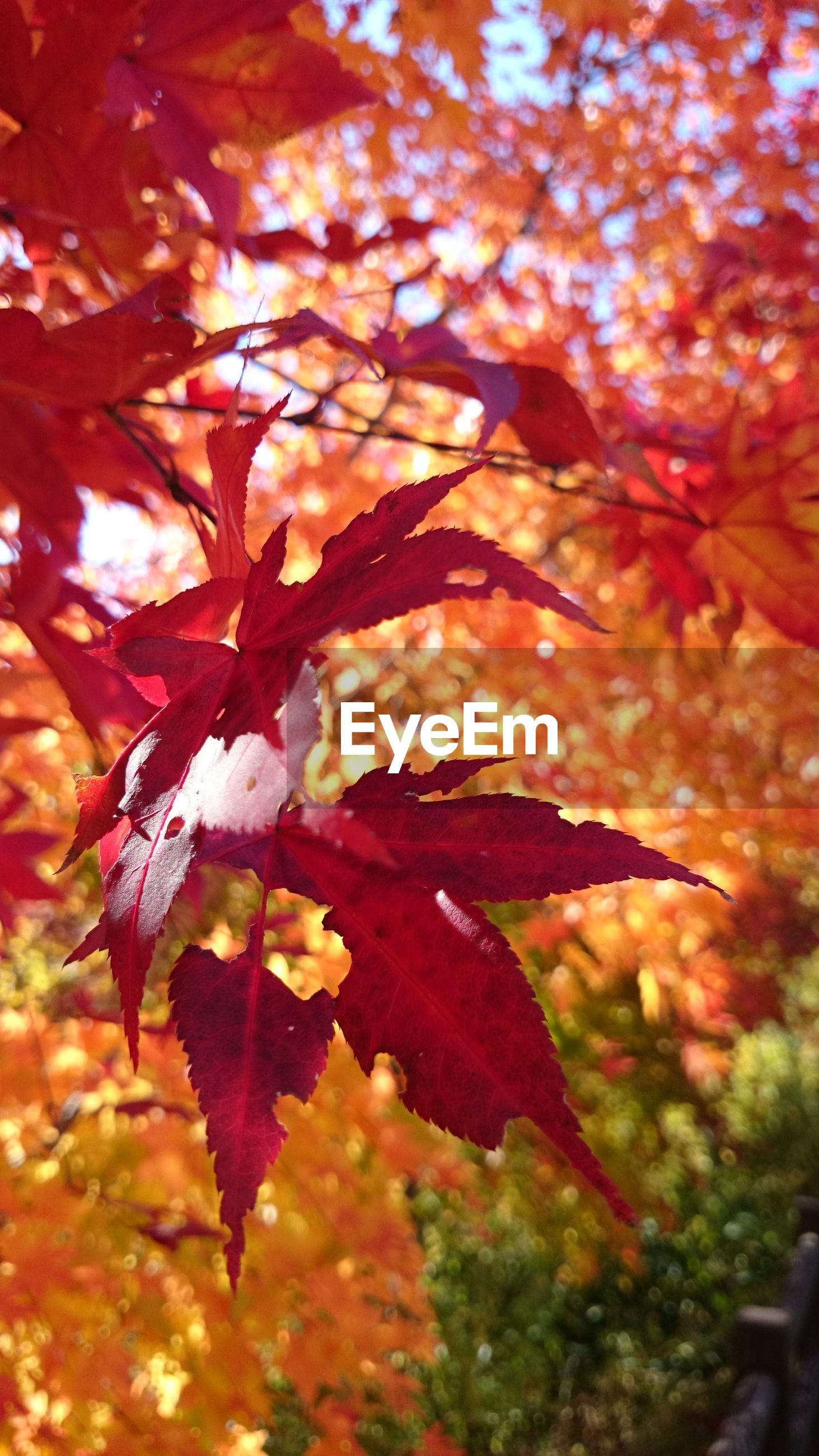 autumn, change, leaf, season, leaves, maple leaf, nature, close-up, orange color, growth, beauty in nature, focus on foreground, tree, branch, red, leaf vein, selective focus, natural pattern, tranquility, outdoors