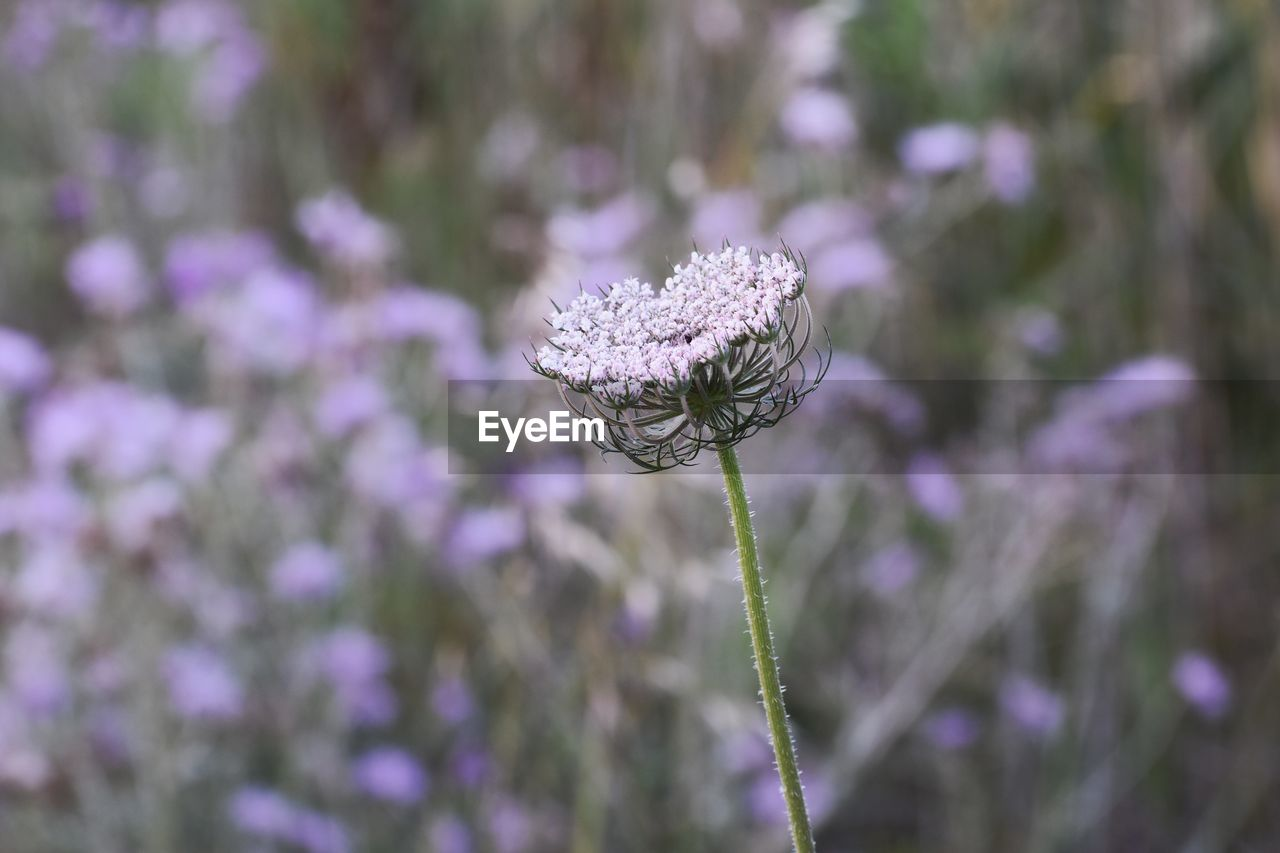 plant, flower, flowering plant, growth, beauty in nature, fragility, vulnerability, freshness, close-up, nature, focus on foreground, day, no people, purple, selective focus, flower head, inflorescence, petal, plant stem, outdoors, lavender