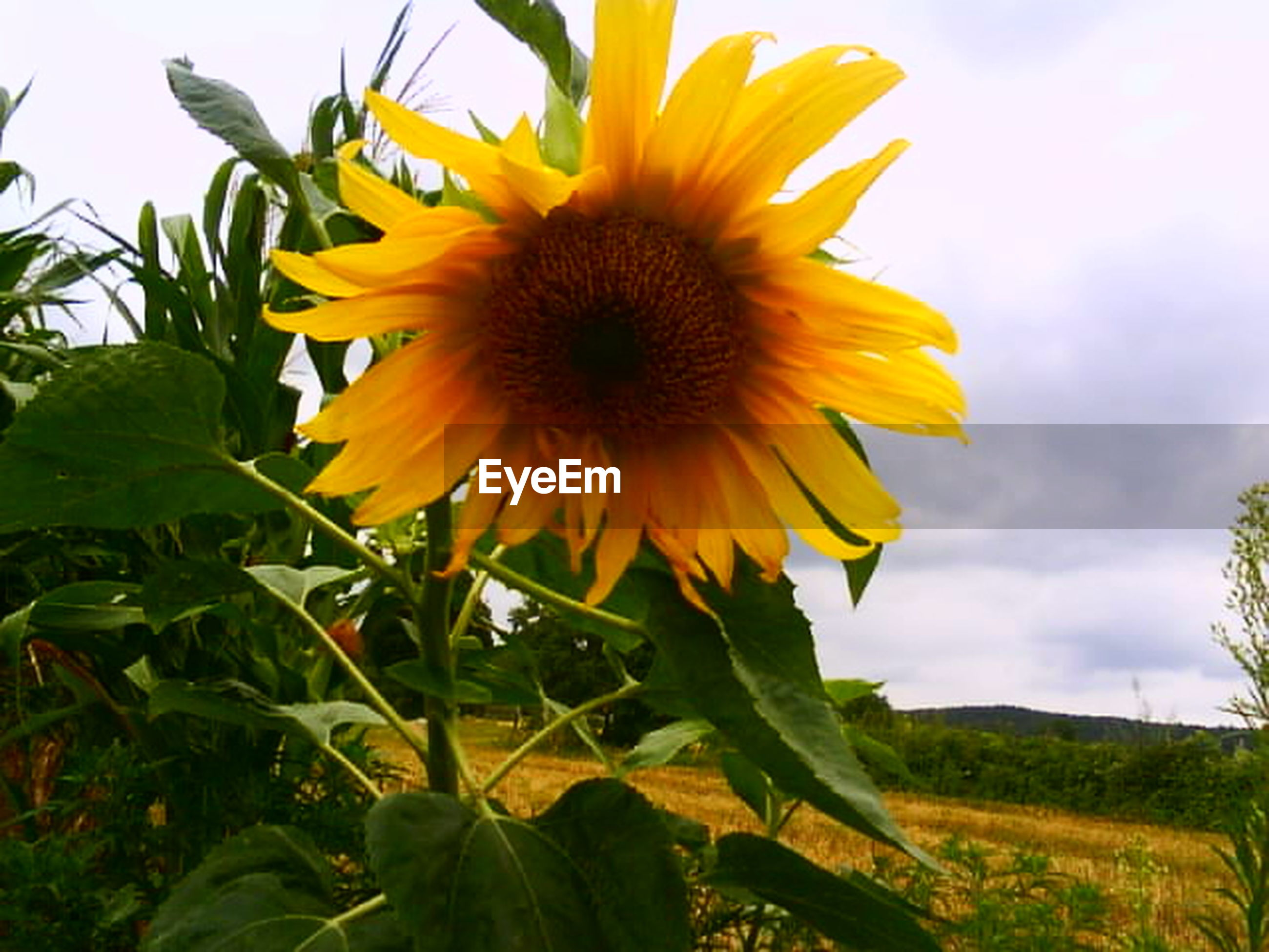 flower, freshness, petal, yellow, flower head, sunflower, fragility, growth, beauty in nature, blooming, sky, plant, pollen, leaf, nature, field, close-up, single flower, in bloom, focus on foreground