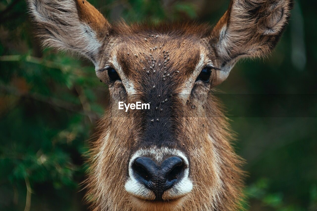 Close-Up Portrait Of Deer In Forest