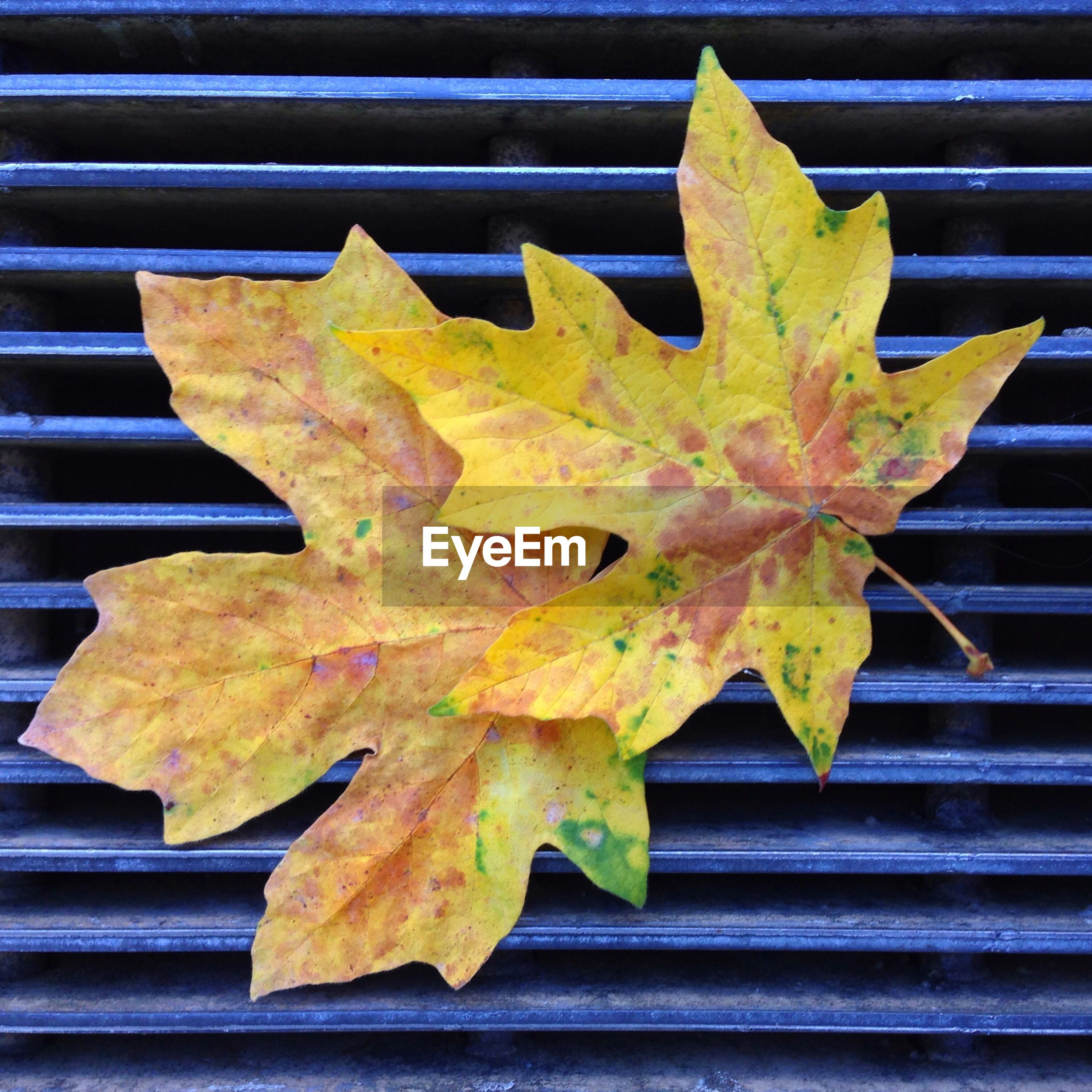 Directly above view of yellow autumn leaves on blue metal grate