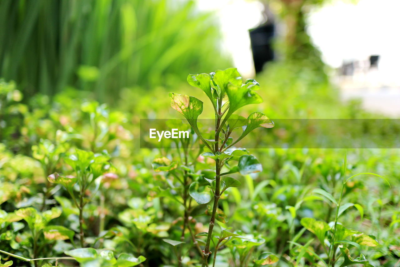 growth, plant, green color, focus on foreground, nature, land, close-up, leaf, beauty in nature, day, plant part, field, selective focus, no people, outdoors, freshness, tranquility, fragility, vulnerability, grass