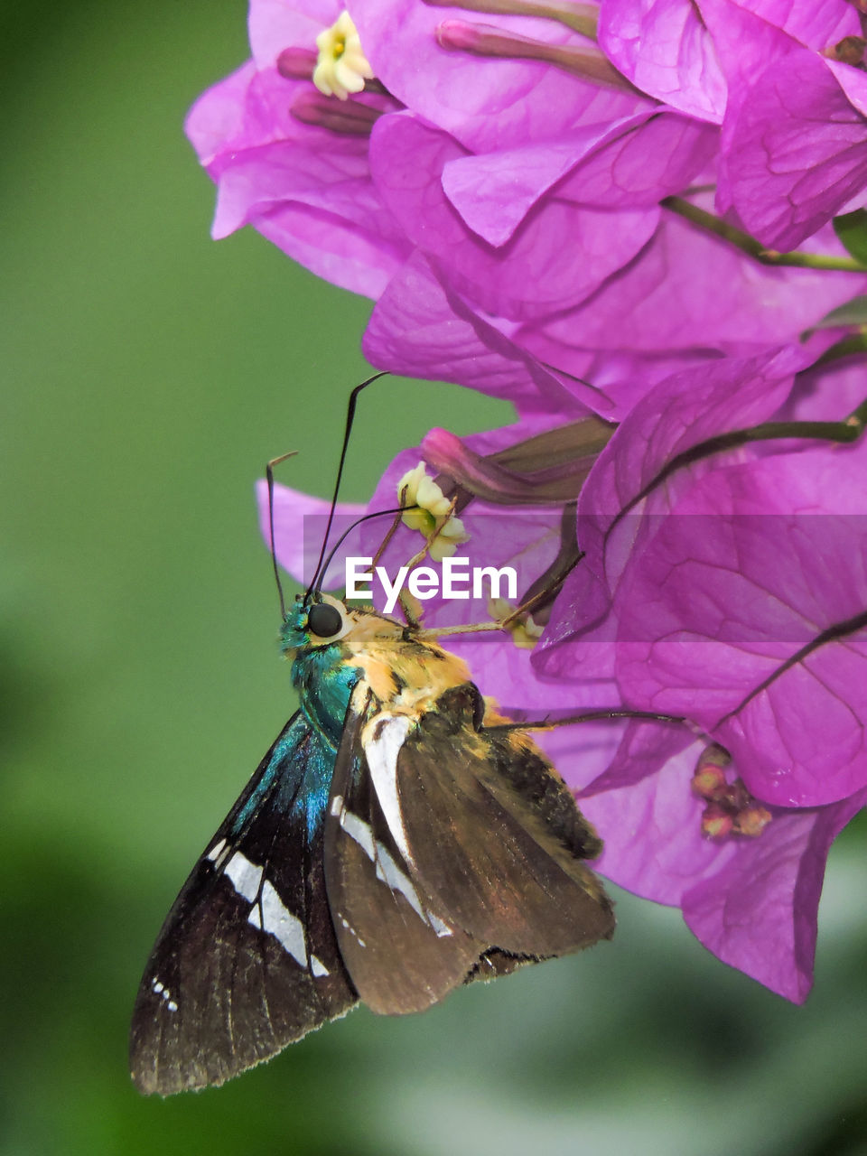 CLOSE-UP OF BUTTERFLY PERCHING ON PURPLE FLOWERS