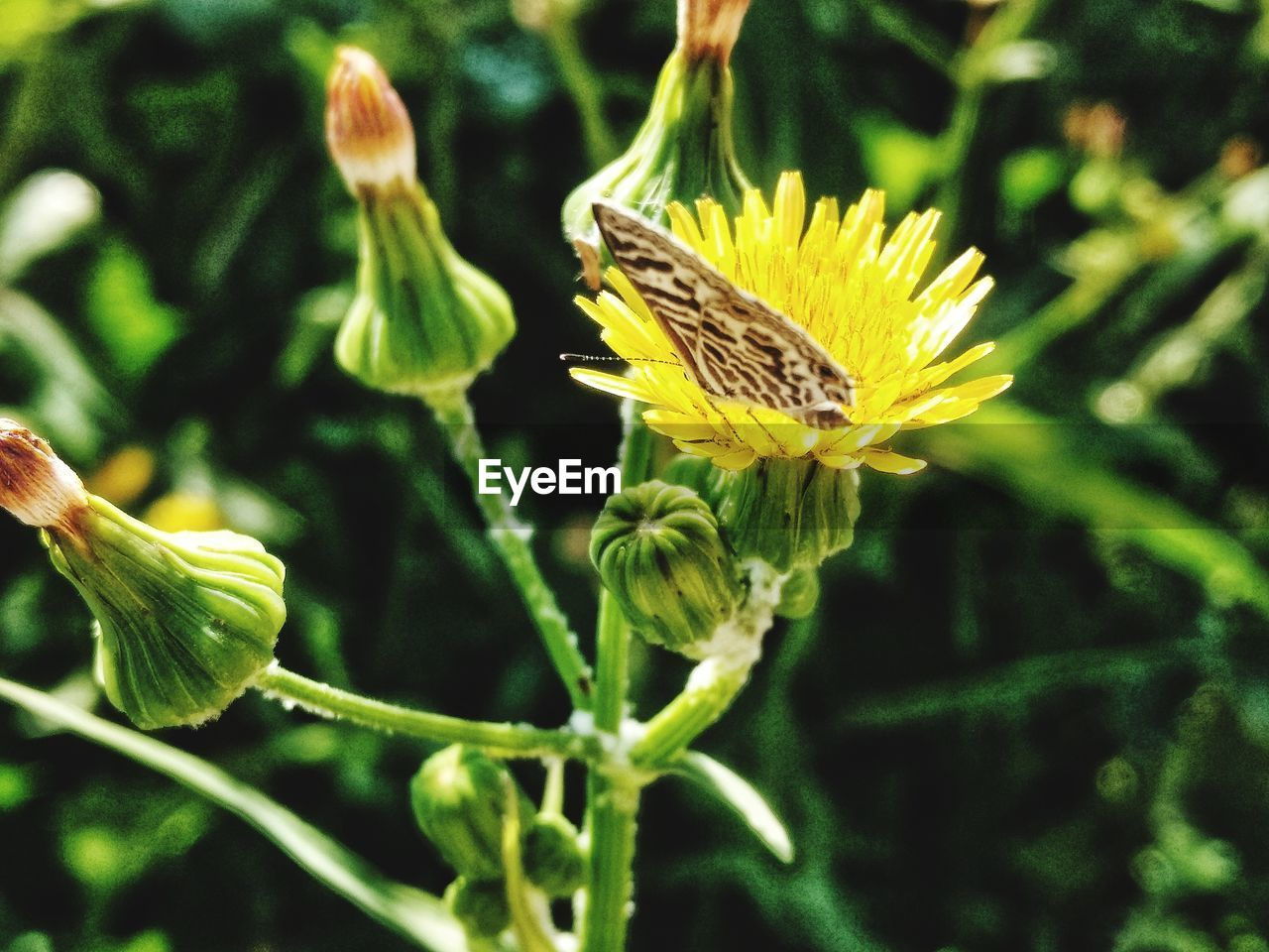 growth, flower, plant, nature, fragility, no people, green color, beauty in nature, outdoors, close-up, petal, yellow, leaf, focus on foreground, flower head, day, freshness, thistle, blooming