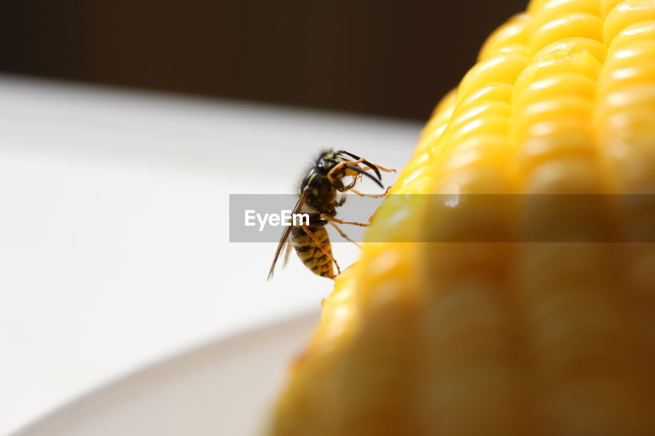 Close-Up Of Wasp On Sweetcorn