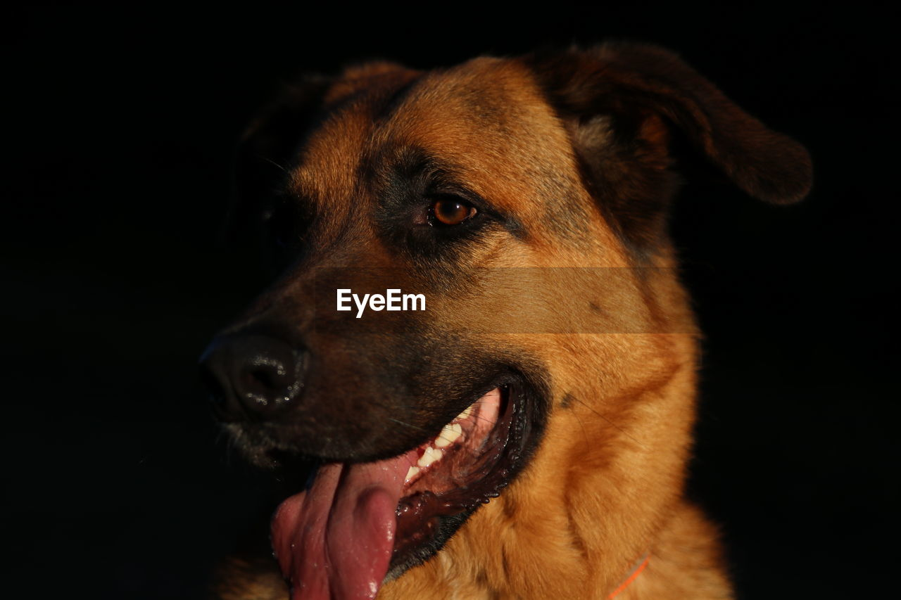 CLOSE-UP OF DOG AGAINST BLACK