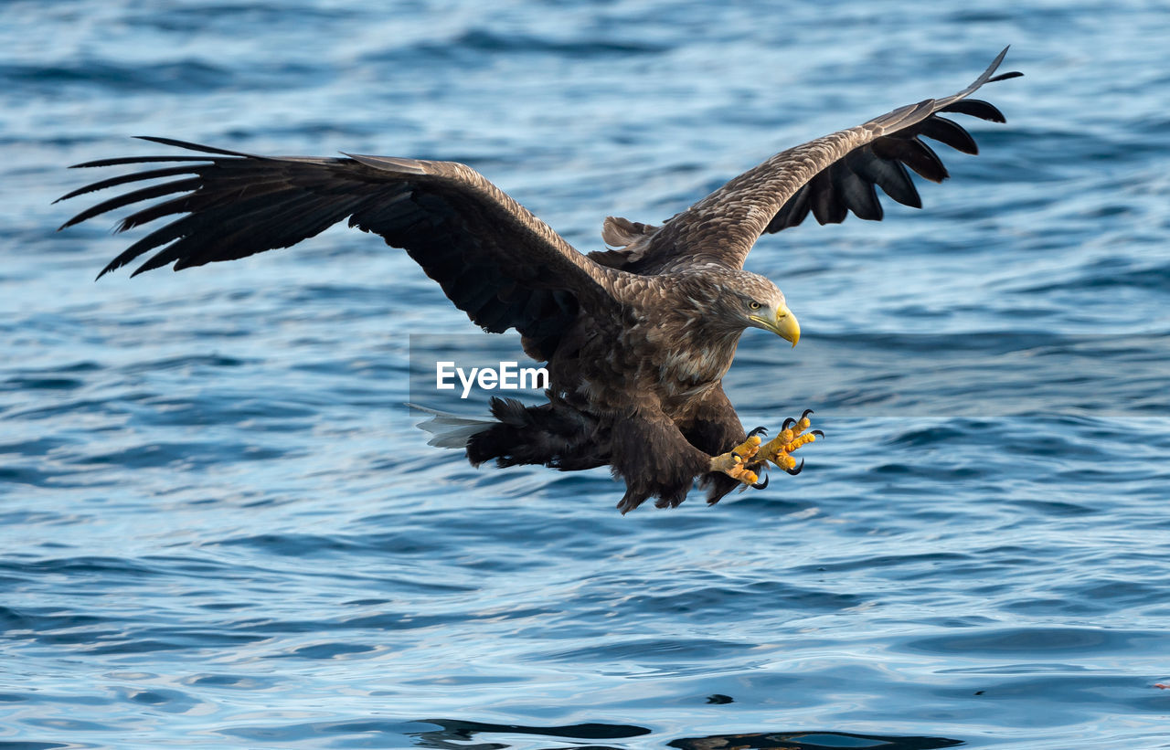 flying, spread wings, animals in the wild, animal themes, animal, bird, animal wildlife, vertebrate, water, mid-air, one animal, bird of prey, motion, eagle, eagle - bird, nature, no people, waterfront, sea, bald eagle, outdoors, seagull, flapping