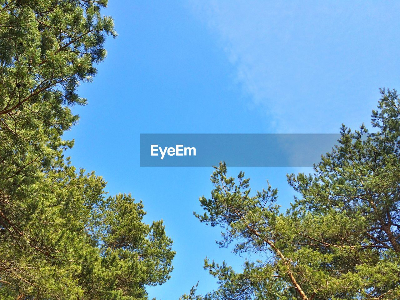 tree, nature, low angle view, growth, blue, blue sky, beauty in nature, day, forest, clear sky, no people, branch, outdoors, height, sky