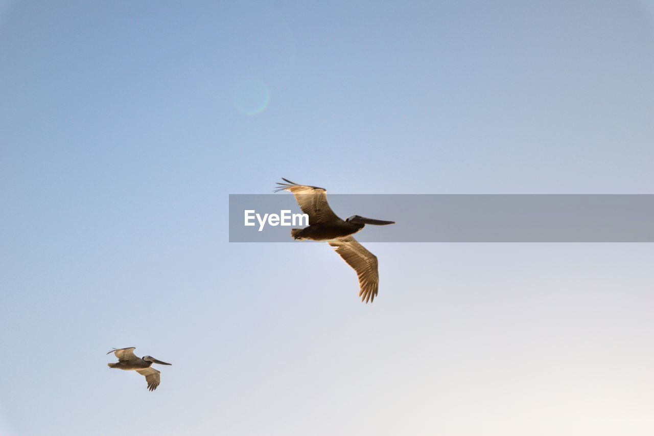 flying, bird, animals in the wild, vertebrate, animal wildlife, spread wings, animal themes, animal, sky, low angle view, mid-air, clear sky, group of animals, copy space, nature, no people, motion, two animals, day, seagull, outdoors
