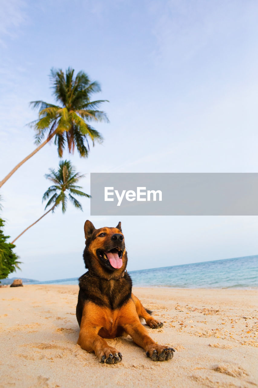 beach, land, one animal, domestic animals, pets, domestic, mammal, sky, animal, animal themes, sea, palm tree, vertebrate, dog, canine, nature, water, horizon, tree, tropical climate, horizon over water, no people, mouth open