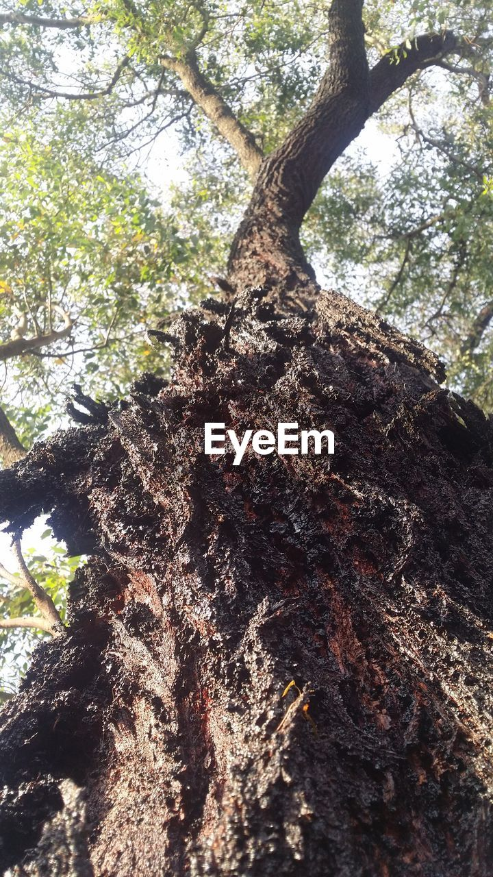 tree, tree trunk, forest, nature, growth, day, branch, low angle view, no people, outdoors, tranquility, beauty in nature, bark, sky