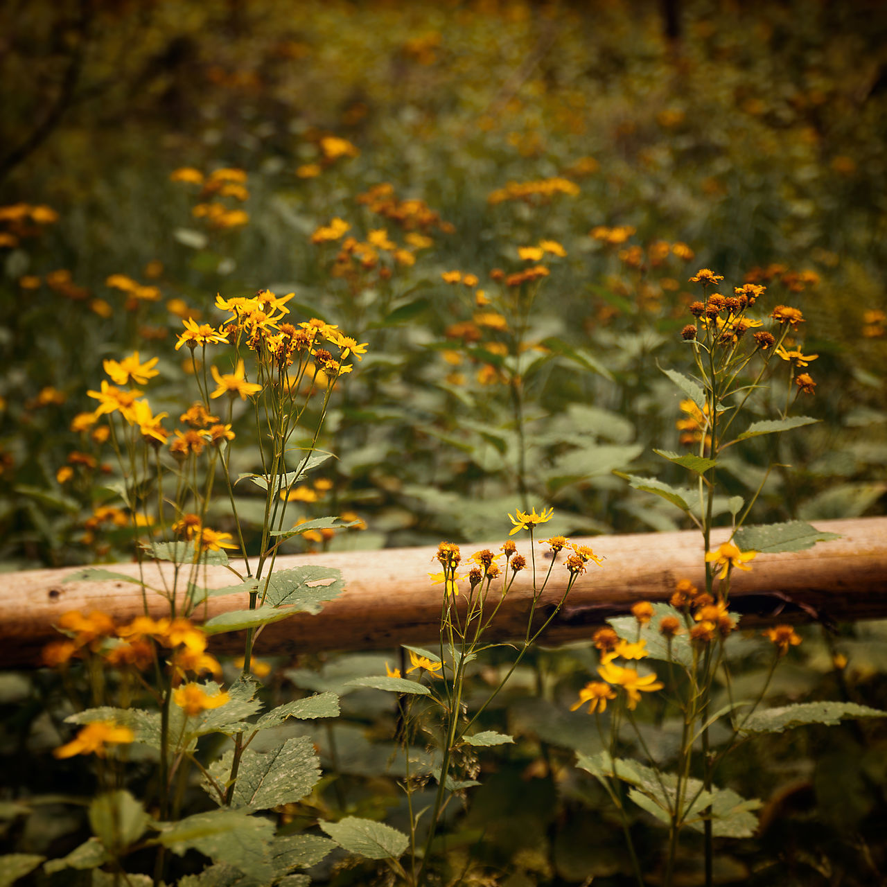 plant, flower, growth, flowering plant, selective focus, nature, beauty in nature, day, field, vulnerability, freshness, fragility, land, no people, close-up, yellow, outdoors, focus on foreground, plant stem, sunlight