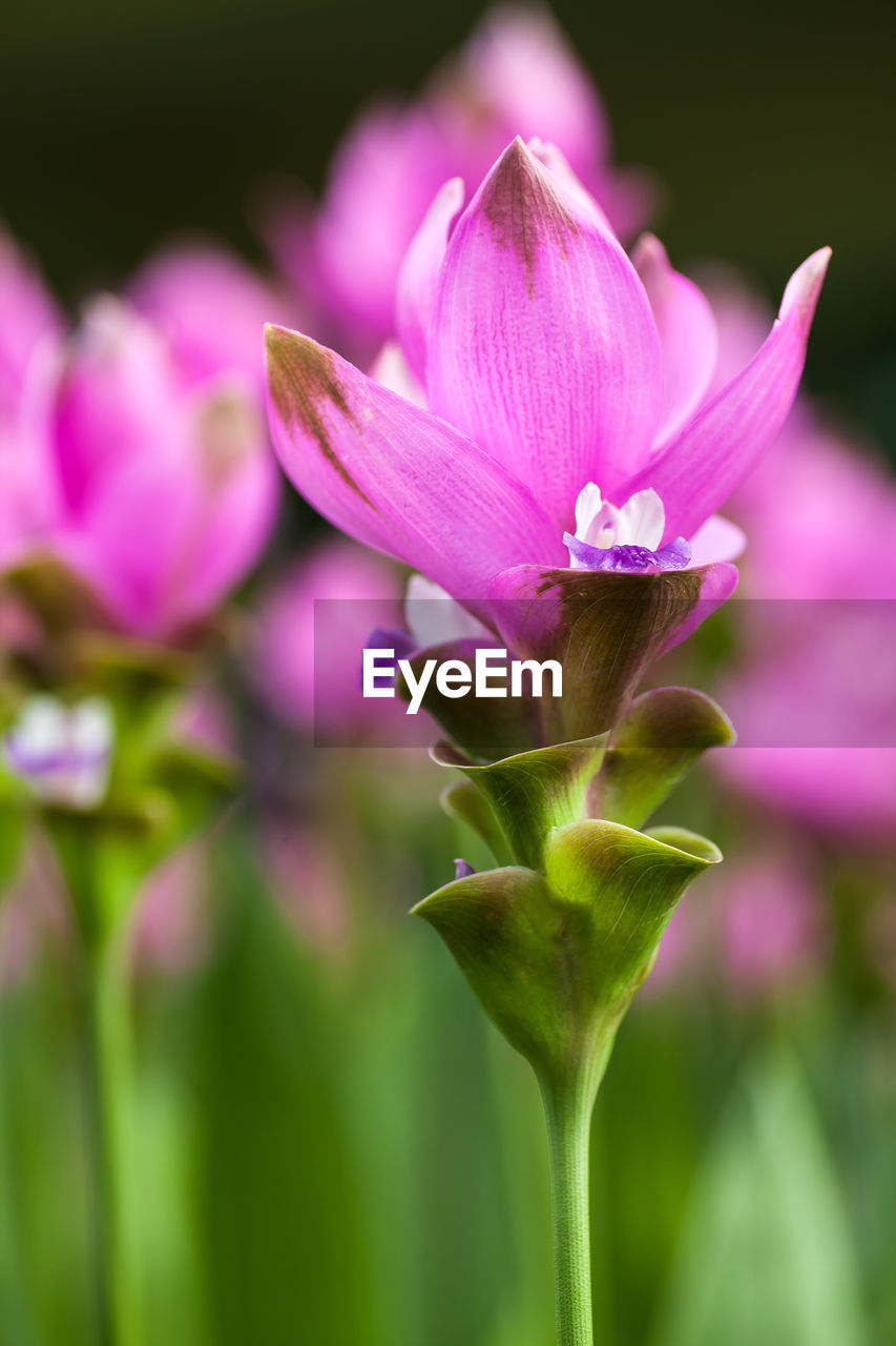 flower, flowering plant, beauty in nature, vulnerability, plant, fragility, freshness, petal, close-up, growth, inflorescence, pink color, flower head, focus on foreground, nature, no people, day, purple, plant stem, plant part, sepal
