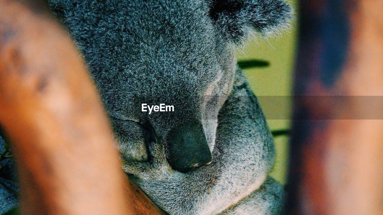 Close-Up Of Koala Bear Sleeping In Zoo