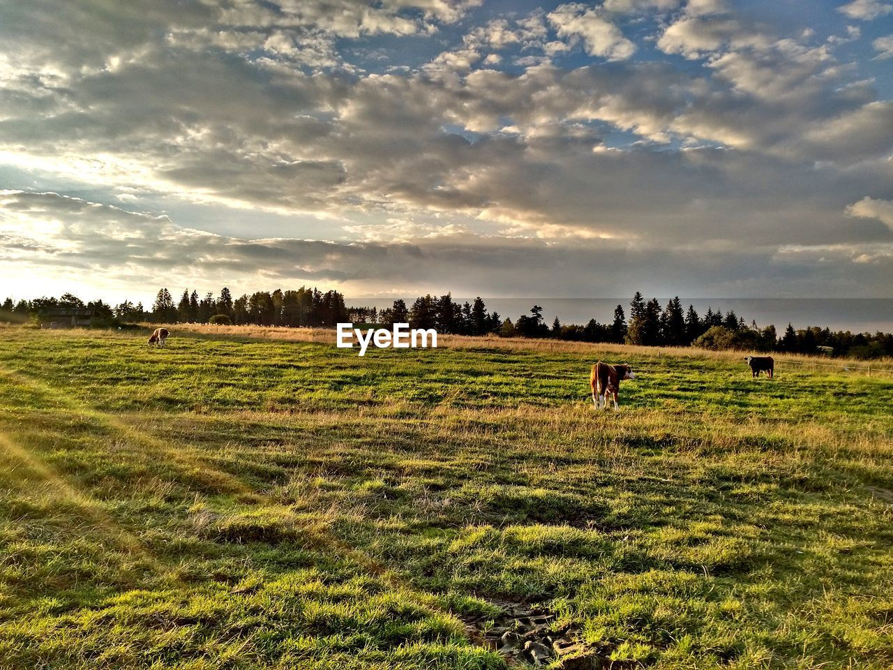 animal themes, domestic animals, field, grass, mammal, landscape, horse, sky, cloud - sky, nature, tree, grazing, tranquility, livestock, cow, beauty in nature, scenics, tranquil scene, large group of animals, no people, outdoors, day, growth, sunset, rural scene, pets