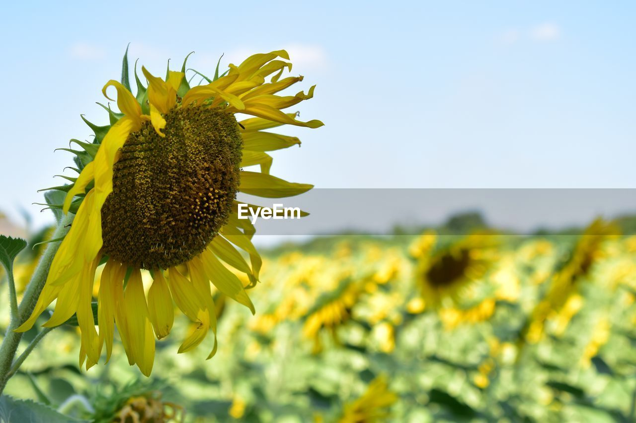 CLOSE-UP OF FRESH YELLOW SUNFLOWER AGAINST SKY