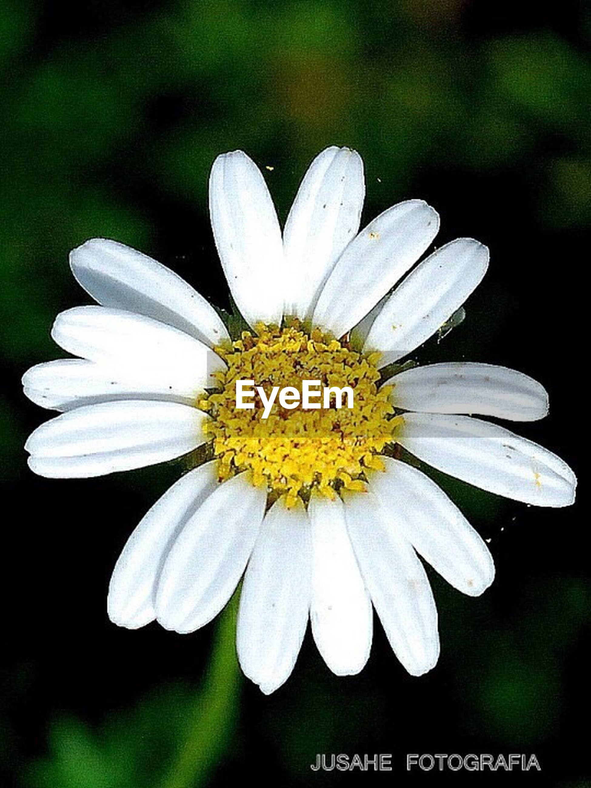flower, freshness, petal, flower head, fragility, white color, close-up, beauty in nature, growth, pollen, single flower, nature, focus on foreground, daisy, blooming, stamen, white, selective focus, in bloom, yellow