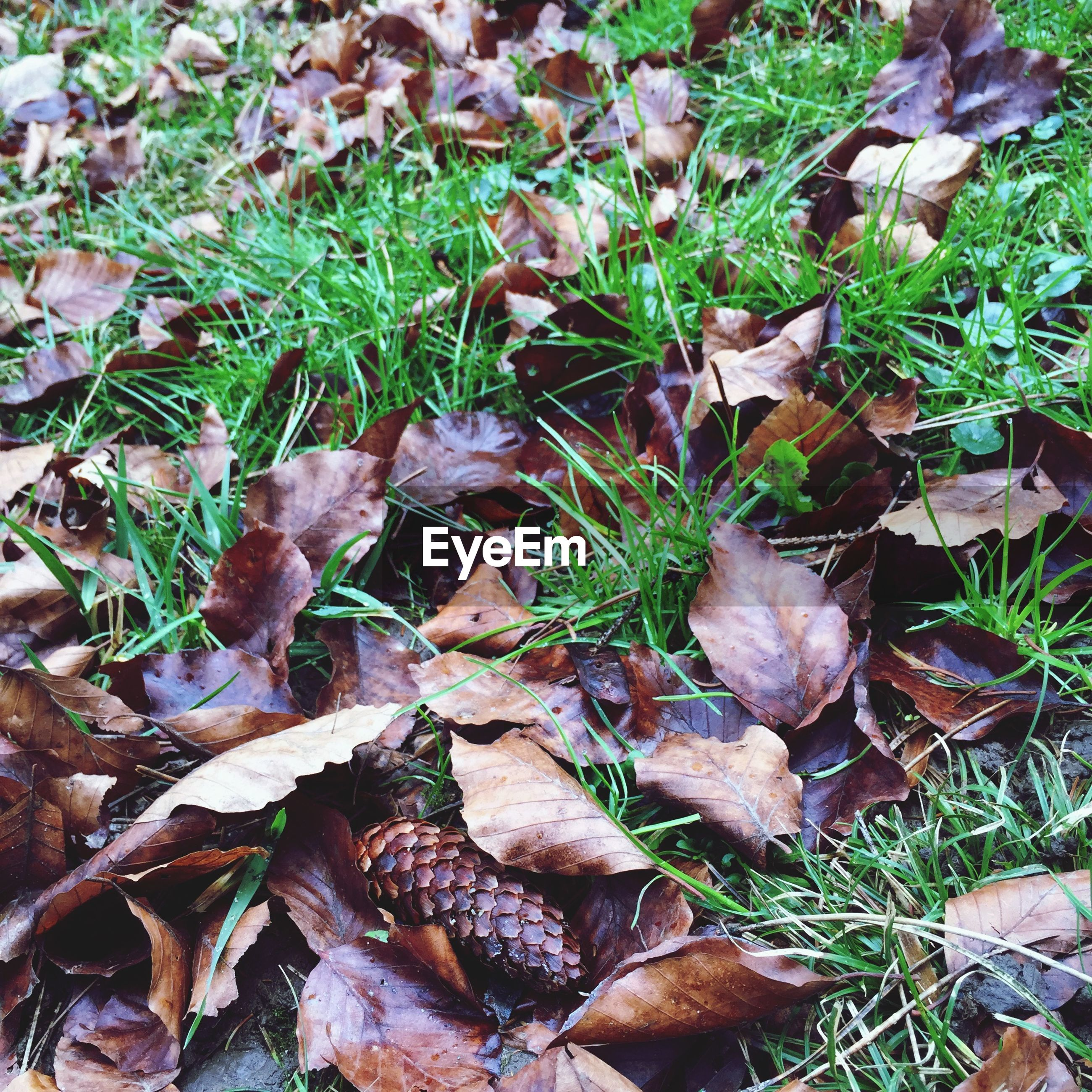 High angle view of pine cone and leaves on grassy field