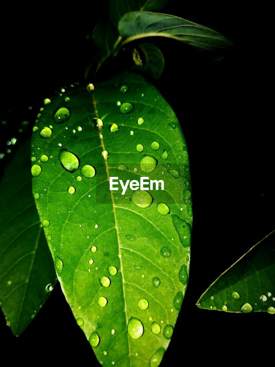 leaf, drop, green color, water, close-up, wet, nature, raindrop, freshness, plant, growth, no people, fragility, day, beauty in nature, black background, outdoors