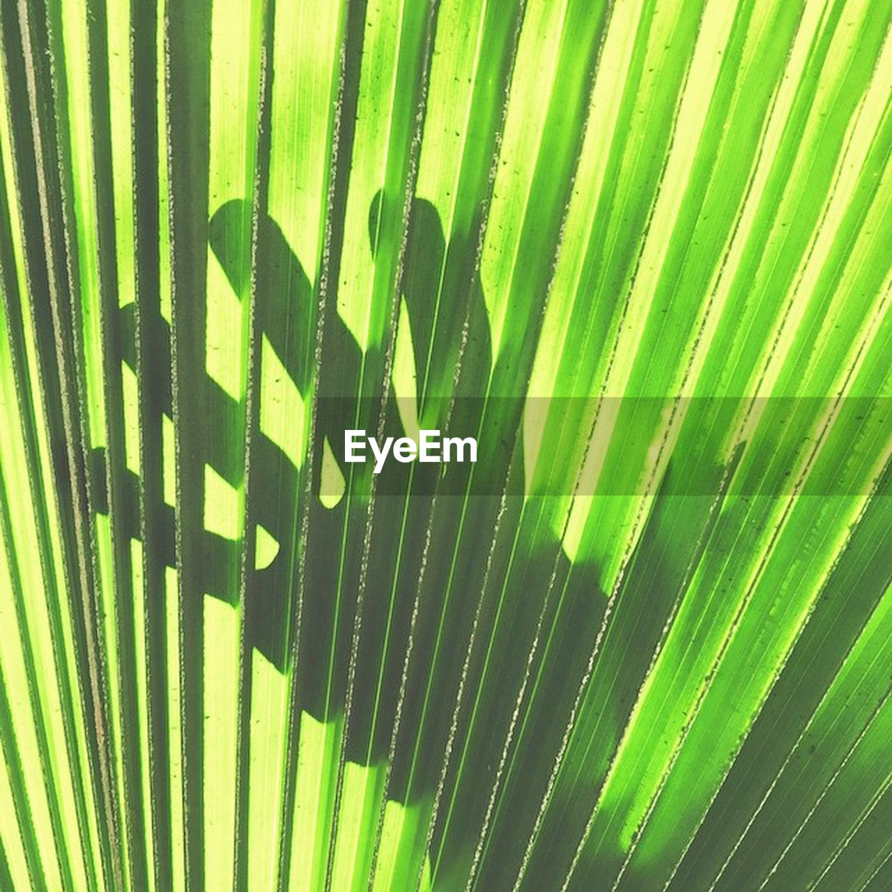 green color, pattern, no people, nature, leaf, close-up, day, palm leaf, natural pattern, striped, growth, palm tree, plant part, outdoors, full frame, backgrounds, plant, beauty in nature, sunlight, tropical climate