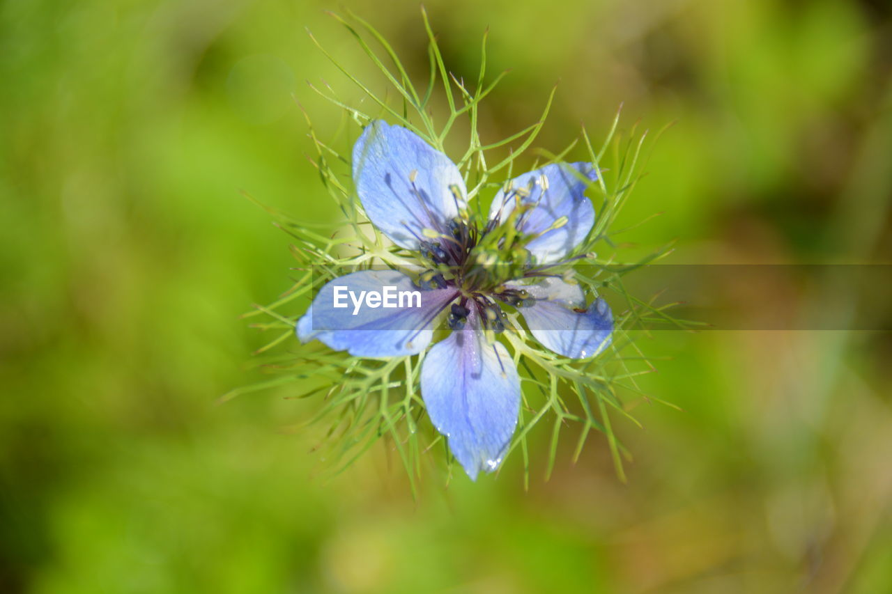 Close-up of blue flower blooming on field