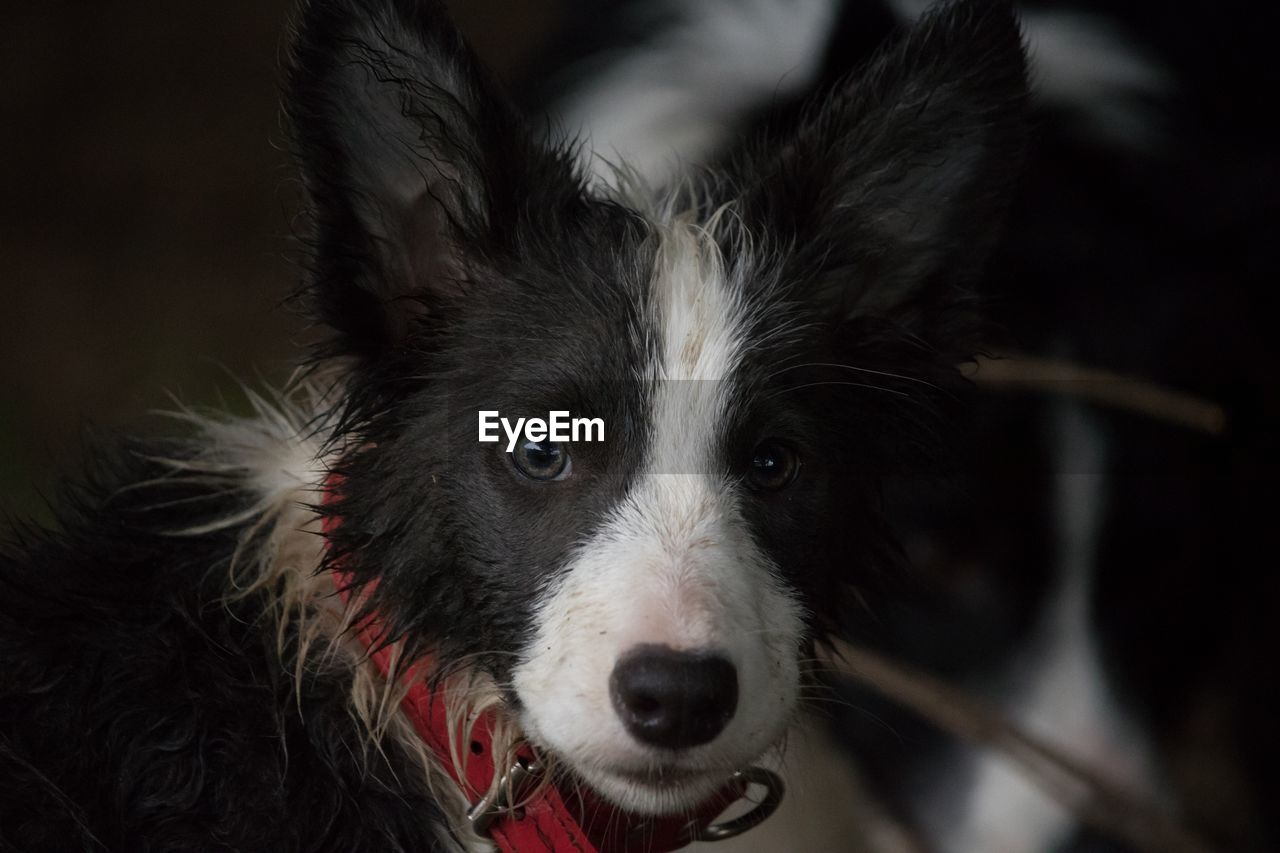 one animal, domestic, mammal, pets, domestic animals, dog, canine, vertebrate, portrait, looking at camera, close-up, animal body part, focus on foreground, no people, indoors, animal eye