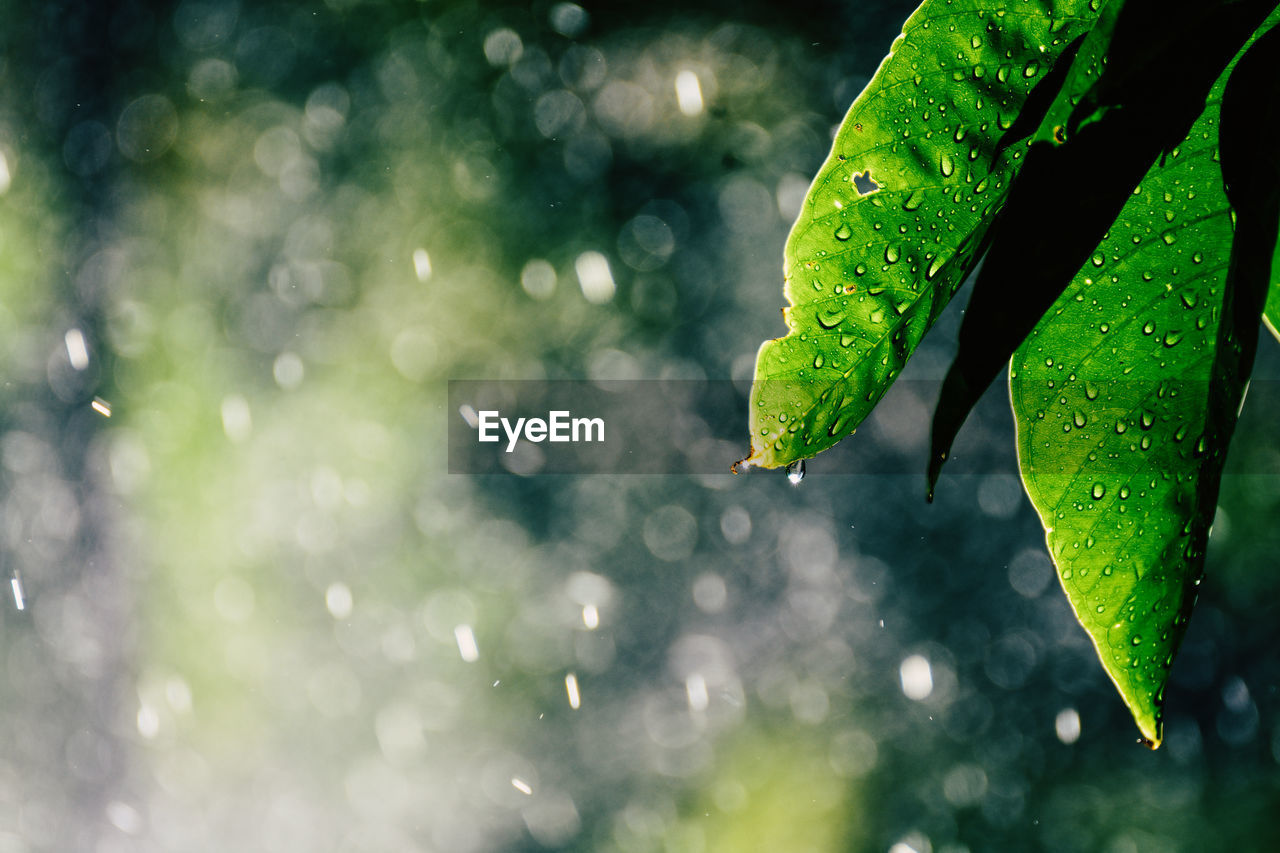 drop, water, green color, plant part, leaf, wet, close-up, plant, nature, growth, no people, day, focus on foreground, selective focus, beauty in nature, outdoors, freshness, rain, raindrop, dew, purity, rainy season, leaves