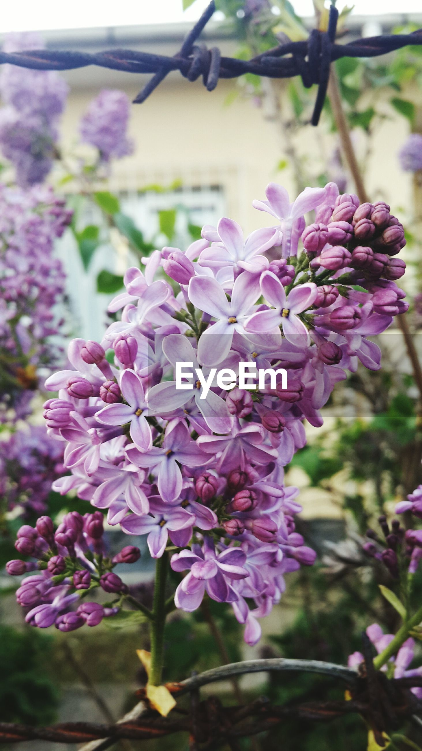 flower, freshness, growth, focus on foreground, fragility, purple, close-up, beauty in nature, petal, nature, pink color, plant, blooming, flower head, in bloom, day, blossom, selective focus, park - man made space, outdoors